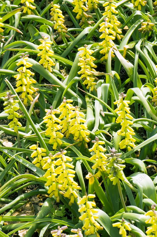 Muscari 'Golden Fragrance'