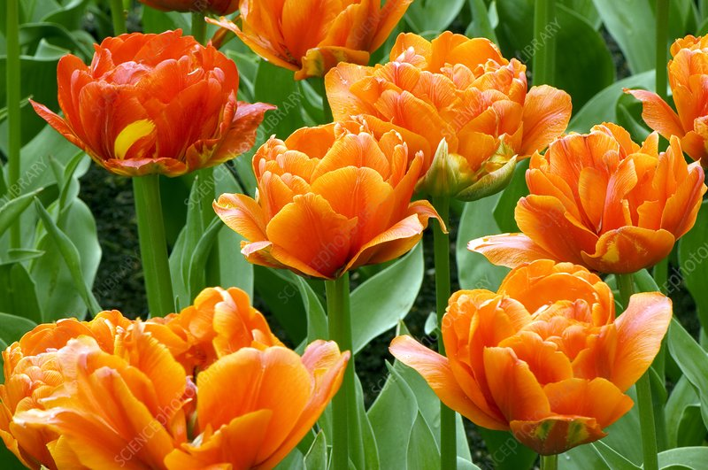 Tulipa 'Orange Lady'