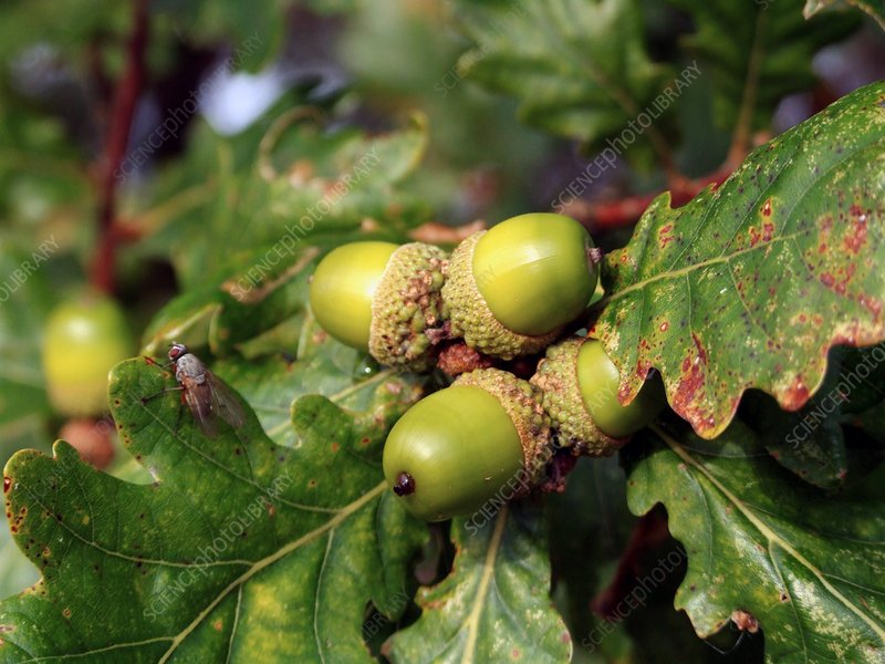 Quercus robur acorns (English Oak)