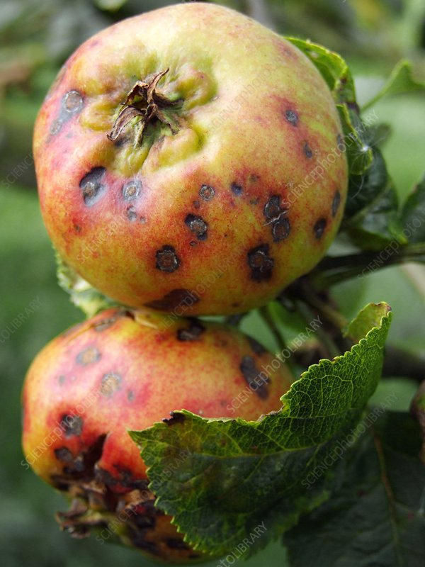Venturia inaequalis (Scab on apples)