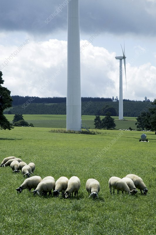 Sheep grazing by wind turbines