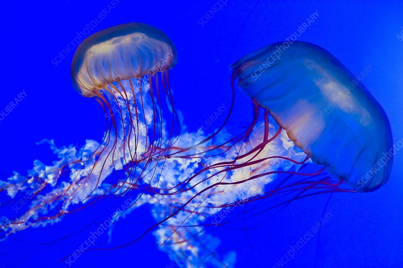 Brown jellyfish