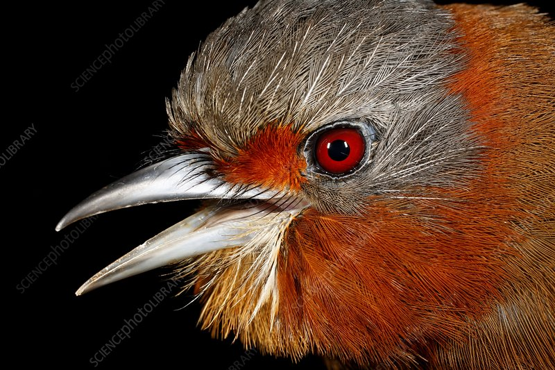 Head of a puffbird
