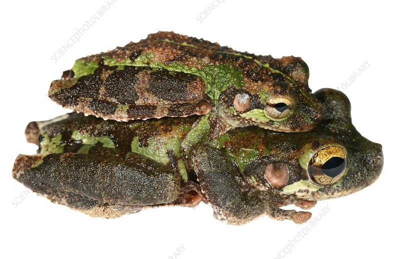 Buckley bonehead frogs mating