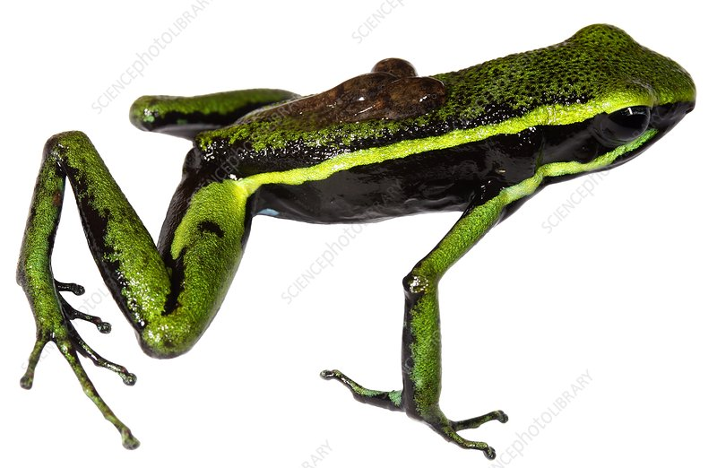 Three-striped poison dart frog