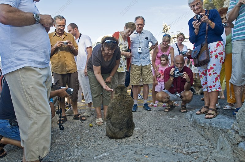 Tourists feeding barbary macaque