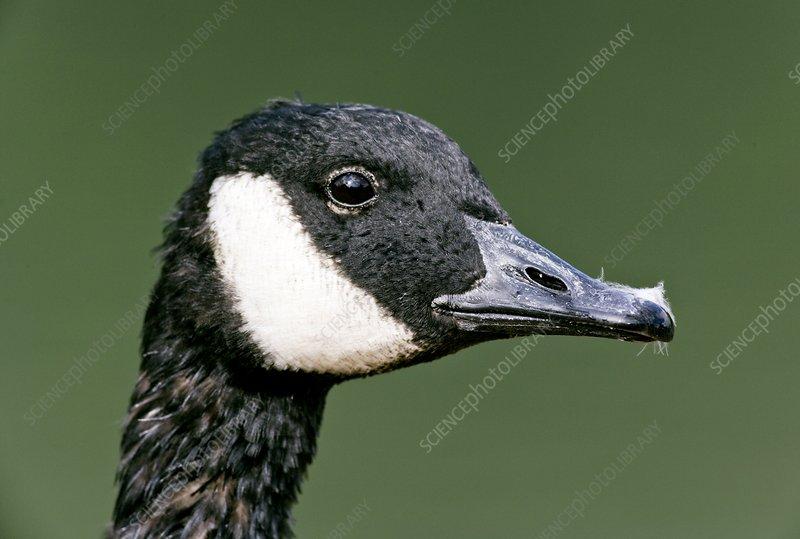 Mystery bird: Canada goose, Branta canadensis & cackling goose, B. hutchinsii