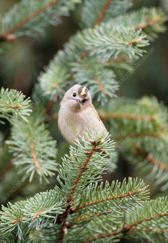 Goldcrest bird in fir tree