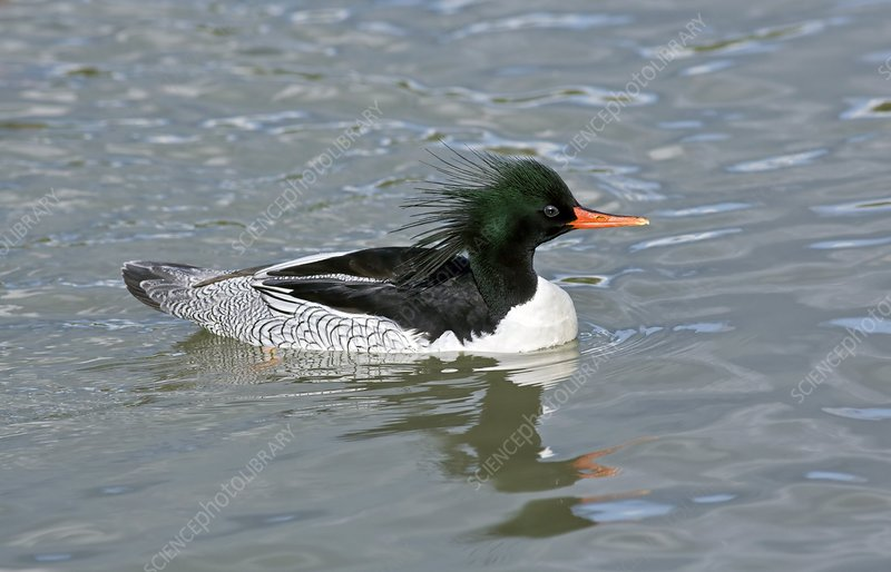 Male scaly-sided merganser
