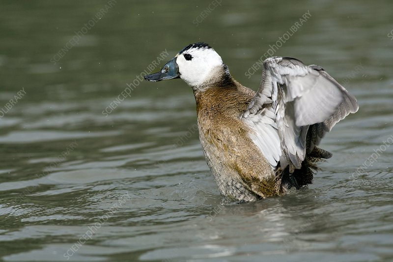 Male white-headed duck juvenile