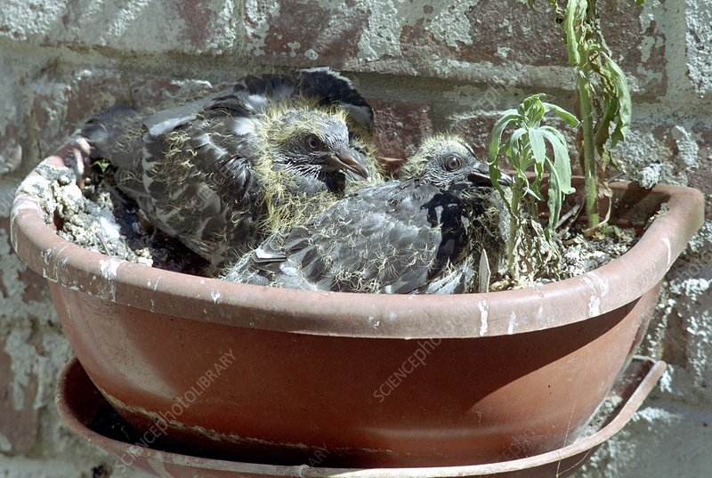 Young pigeons in a plant pot