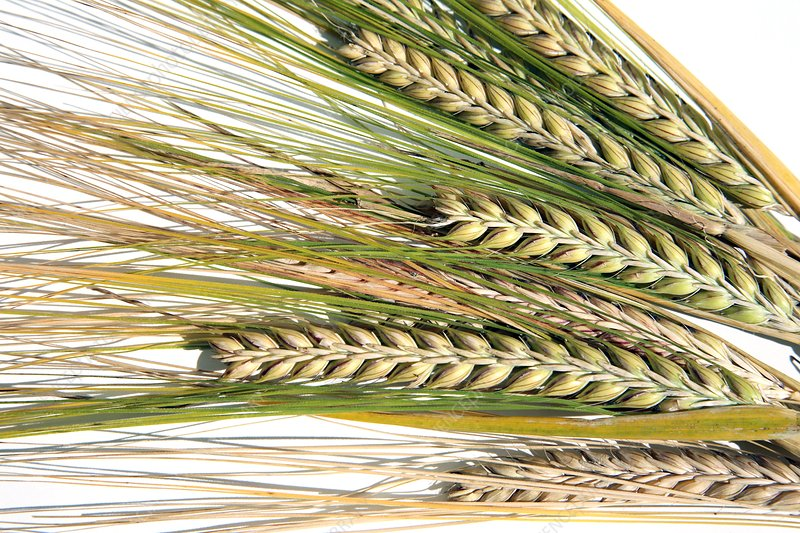 Wheat ears (Triticum sp.)