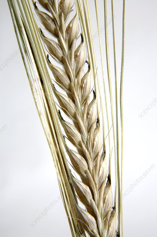 Wheat ear (Triticum sp.)