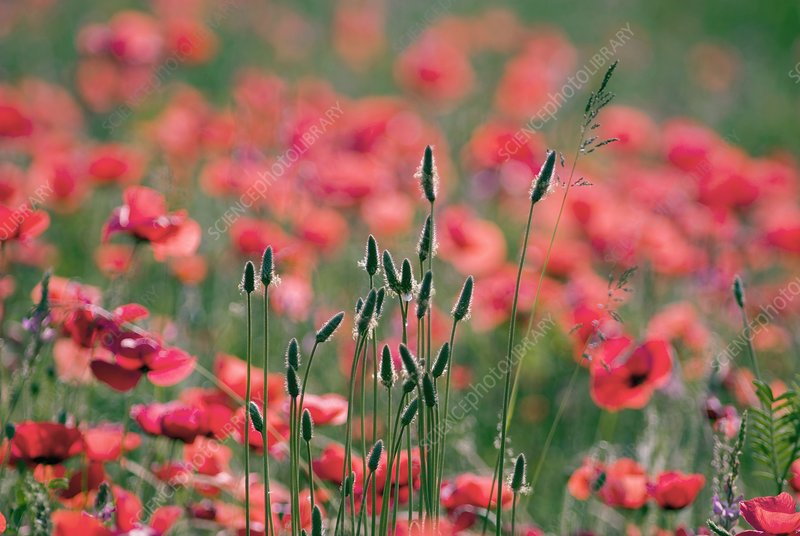 Poppies (Papaver rhoes) and grass