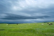Stormy sky over cattle in fields