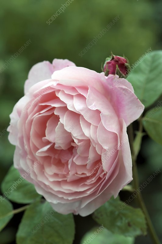 Old fashioned rose 'Alnwick Castle'