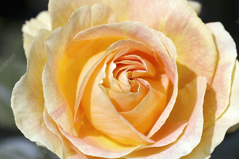 Hybrid Tea Rose 'Bataclan'