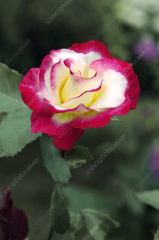 Hybrid Tea 'Double Delight'