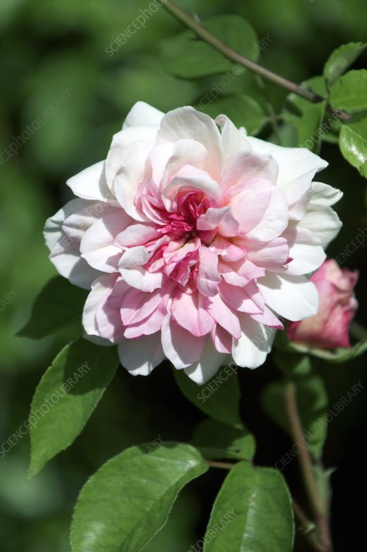 China Rose 'Duke of York'