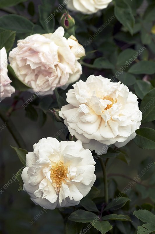Tea Rose (Hume's Blush)