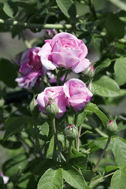 Damask Rose (Ispahan)