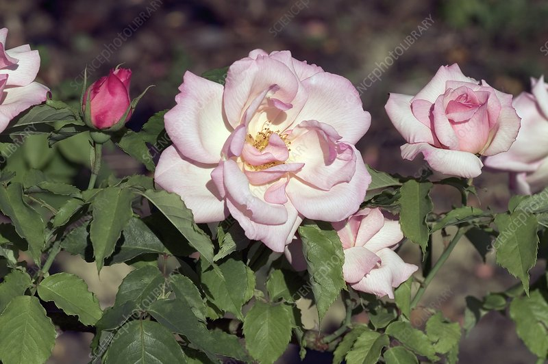 Hybrid Tea (Lady Waterlow)