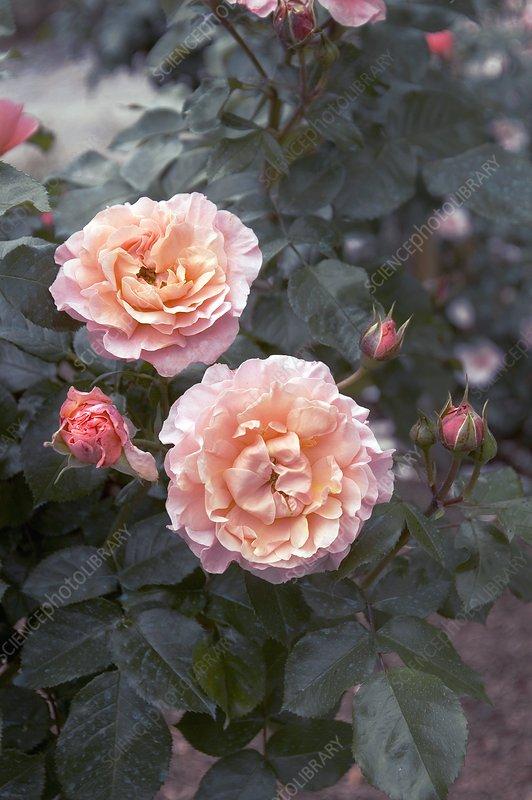 floribunda rose marie curie stock image c002 0278 science photo library. Black Bedroom Furniture Sets. Home Design Ideas