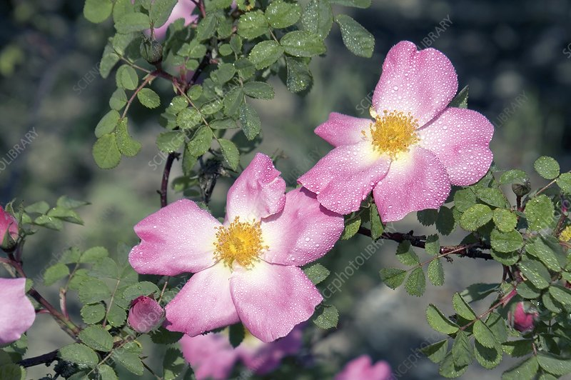 Moyesii Rose (Nevada)