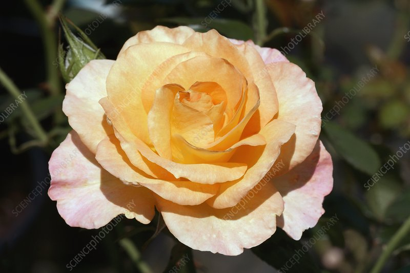 (Rochemenier Village) Floribunda Rose