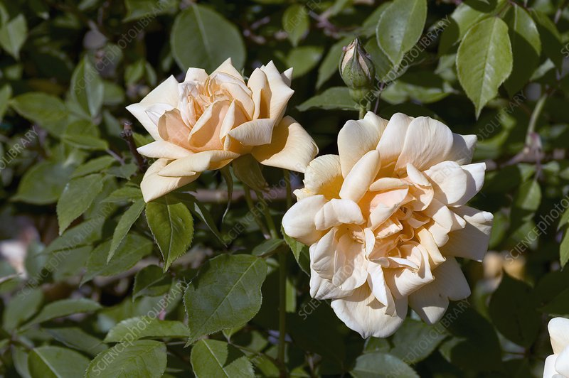 Rose (Word Welcome). Floribunda Rose