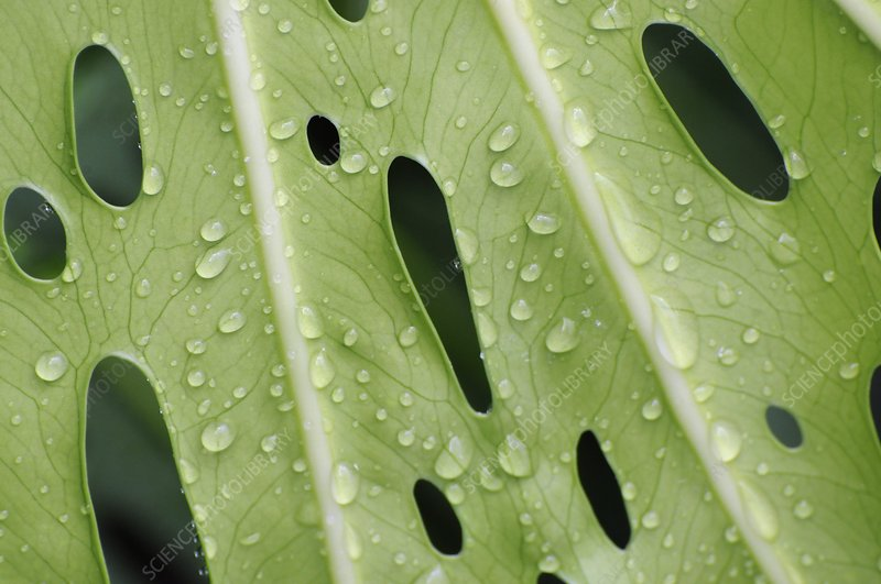 Raindrops on Mexican bread plant leaf