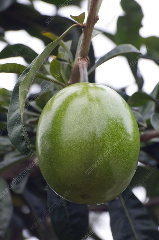 Calabash tree fruit (Crescentia cujete)