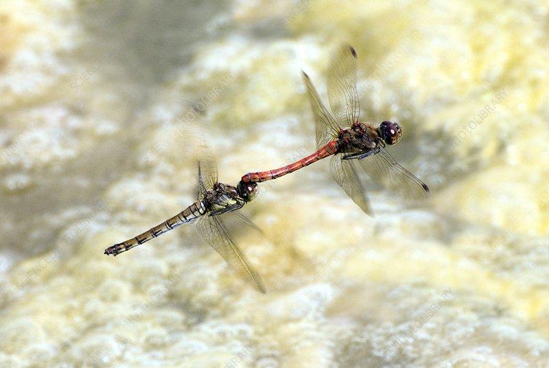 Dragonfliesflying in tandem