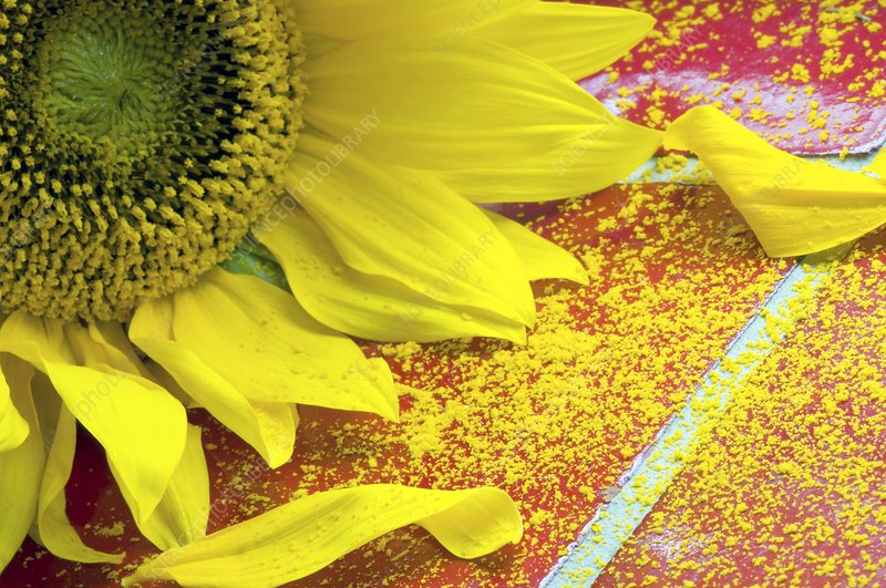 Sunflower pollen (Helianthus annuus)