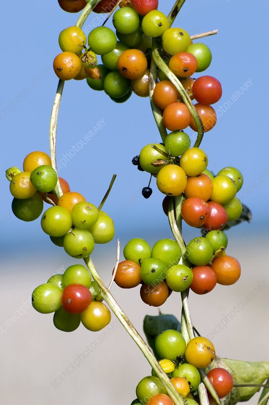 Black bryony berries (Tamus communis)