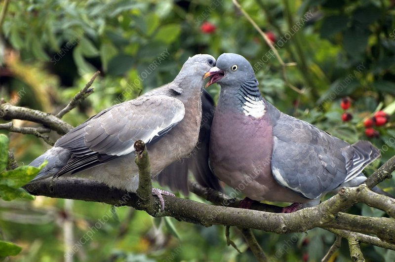 Wood pigeon feeding its young