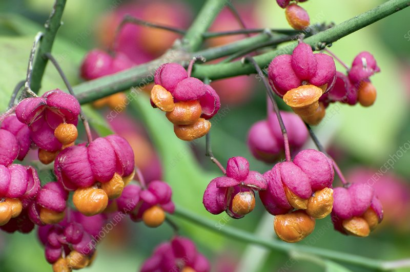 Spindle berries (Euonymus sp.)