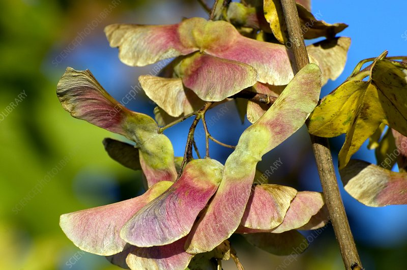 Field maple seeds (Acer campestris)