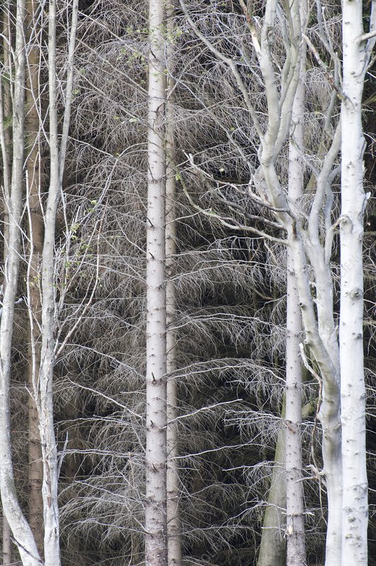 Larch trees in winter