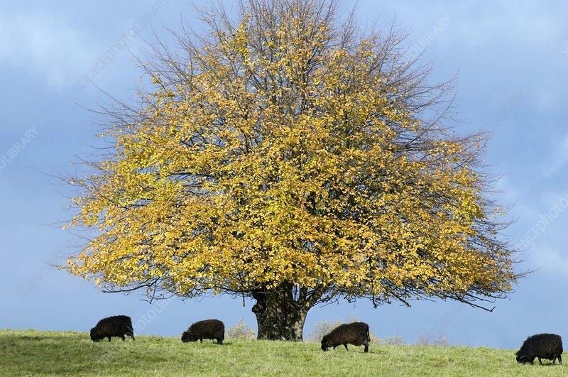 Lime tree (Tilia cordata) in autumn