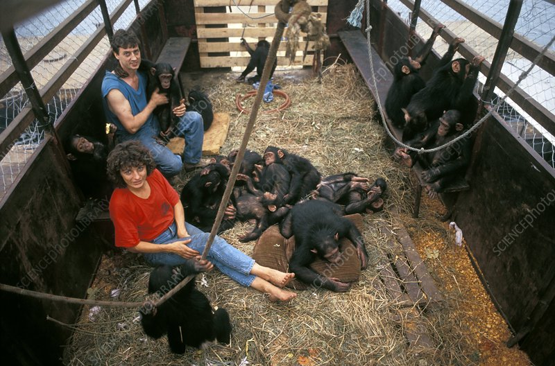 Chimpanzee reintroduction, Congo