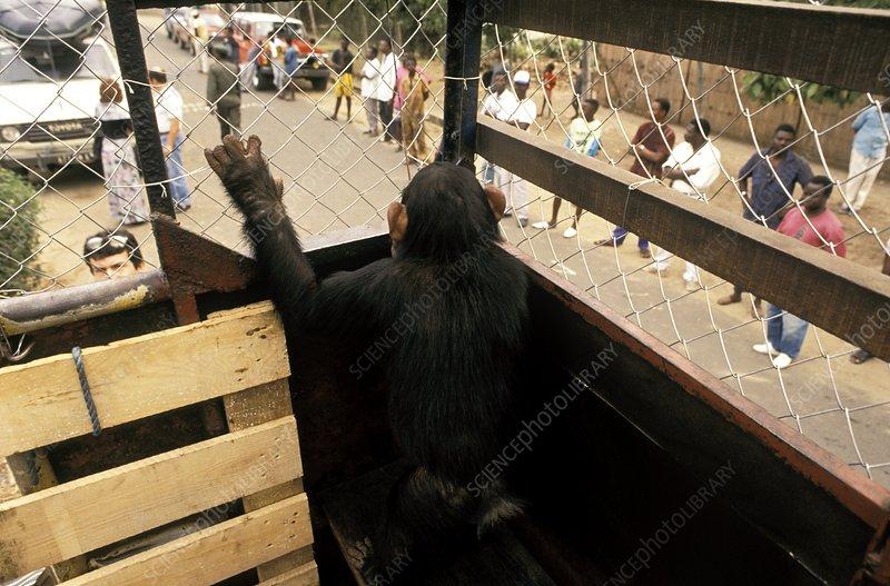 Chimpanzee reintroduction, Congo