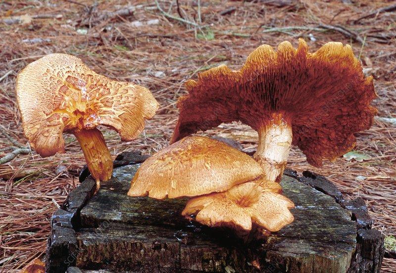 Spectacular rustgill mushrooms