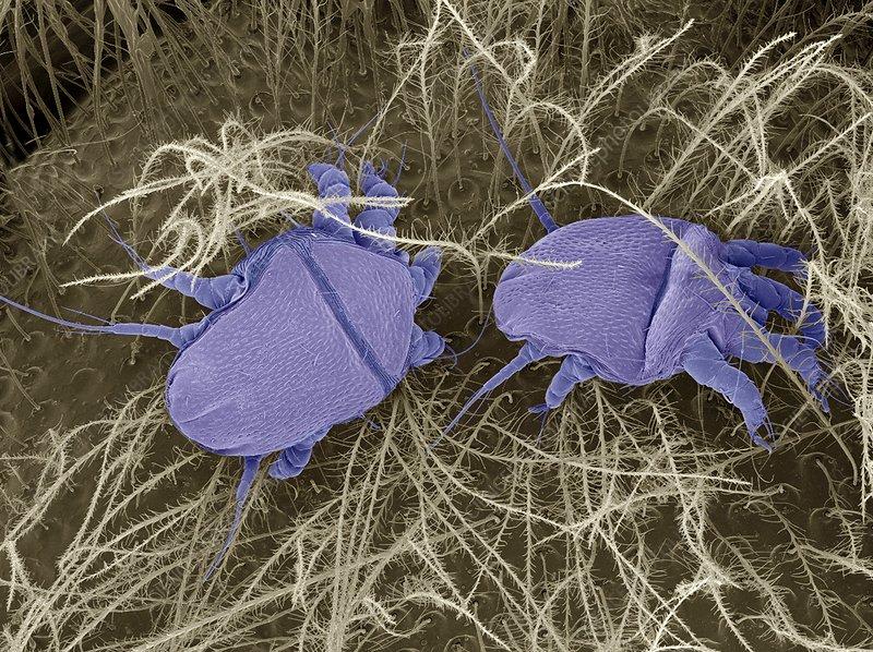 Bee mites, SEM