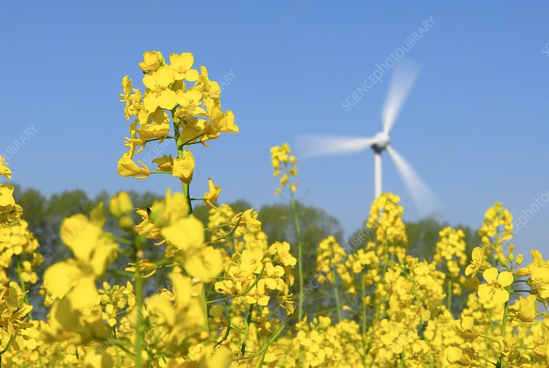 Wind turbine in a rape field