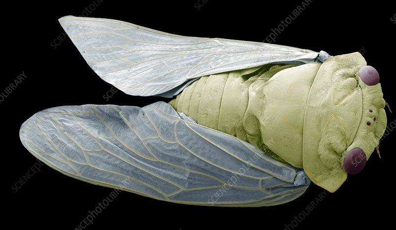 Cicada, SEM