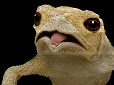 Common toad, SEM