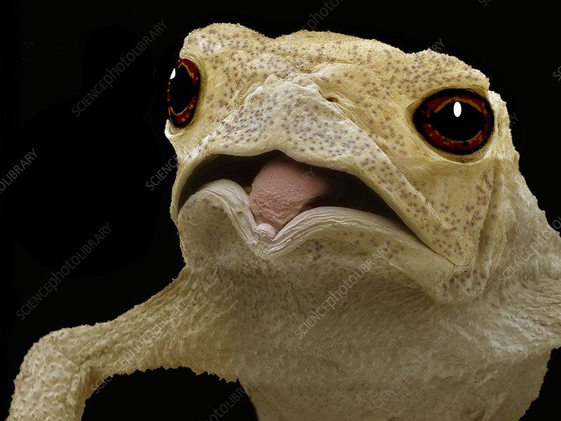 Common toad, SEM