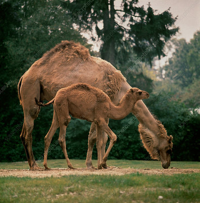 Dromedary Camel with young