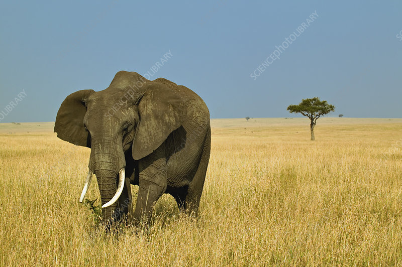 African Elephant Grazing